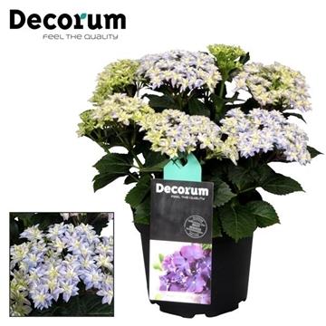 Hydrangea Double Dutch Blue (Decorum)