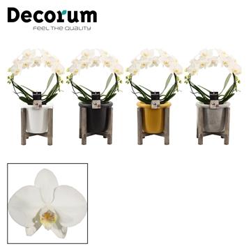 Phalaenopsis boog wit in Lana (Decorum)