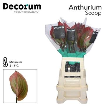 ANTH SCOOP 30 L Decorum