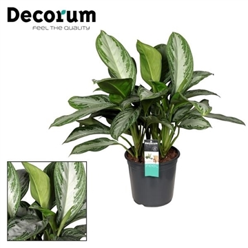 Aglaonema Silver Bay (Decorum)