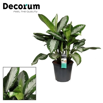 Aglaonema Diamond Bay (Decorum)