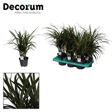 Dictyosperma palm (Decorum)