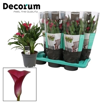 Zantedeschia Callafornia Red (Decorum)