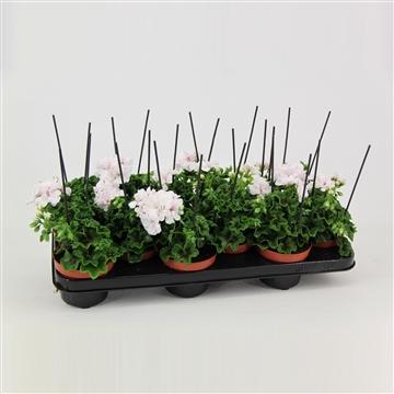 Pelargonium pelt. 'Blanche Roche'