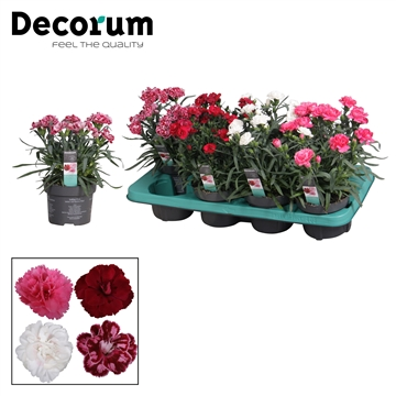 Dianthus - 13 cm - Colores mix - Decorum