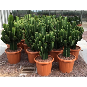 CAN35 Euphorbia ingens40 cm