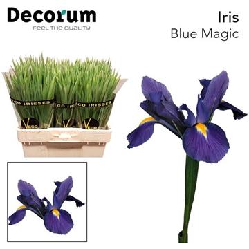IRIS BLUE MAGIC (OP KLEUR)