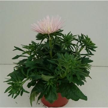 Callistephus Chinensis Starlight Light Pink Aveve