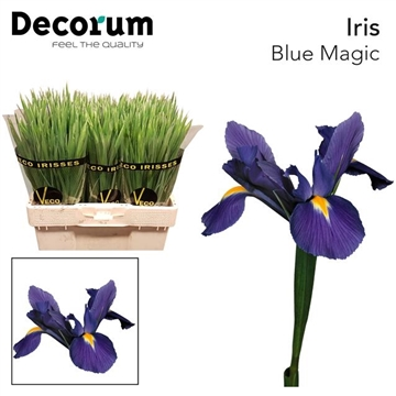 IRIS BLUE MAGIC (OP KLEUR)