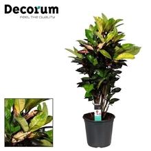Croton Mrs. Iceton vertakt (Decorum)