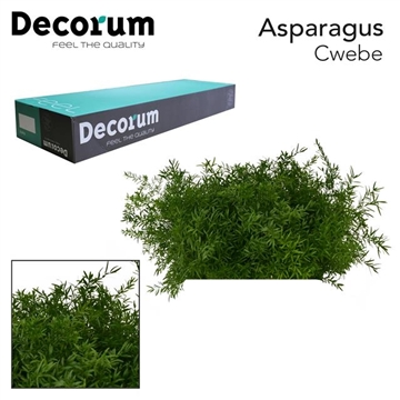 ASP cwebe 50cm box