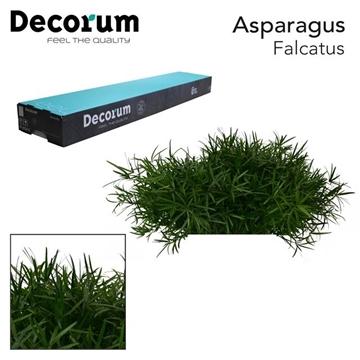 ASP falcatus 45cm box