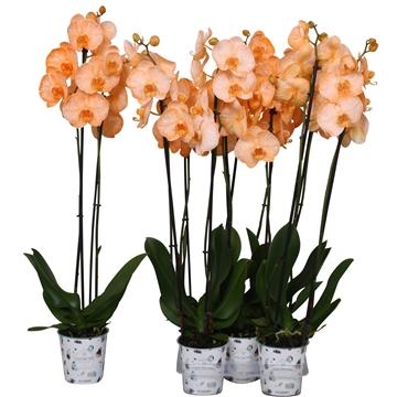 Phal. colorchid orange, 2 tak