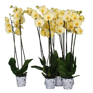 Phal. colorchid yellow, 2 tak
