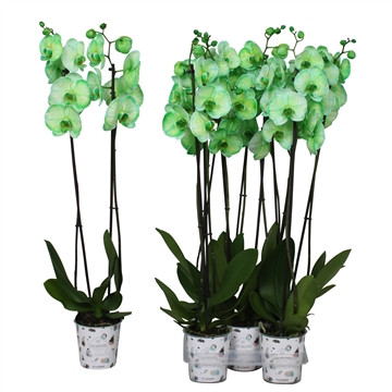 Phal. colorchid green, 2 tak