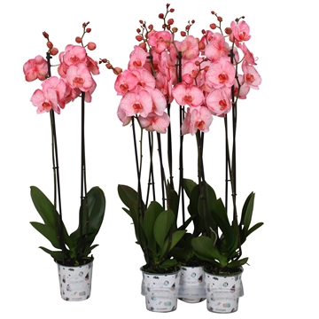 Phal. colorchid pink, 2 tak