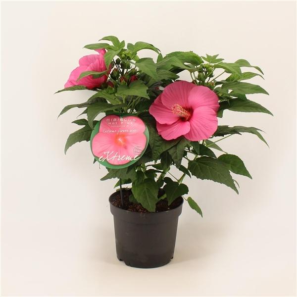 hibiscus xxl extreme roze hot pink plantenpaspoort. Black Bedroom Furniture Sets. Home Design Ideas