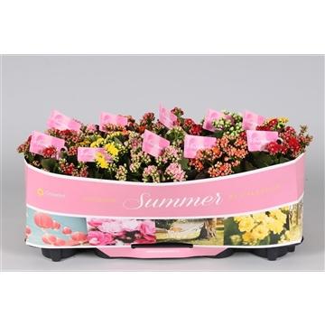 Kalanchoe bloss. gevuld Calandiva mix 5 kleuren met SUMMER kraag