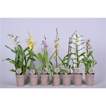 MoreLIPS® Orchideeën Mix 1 tak in taupe pot
