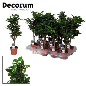 Ficus Microcarpa Ginseng (Decorum)