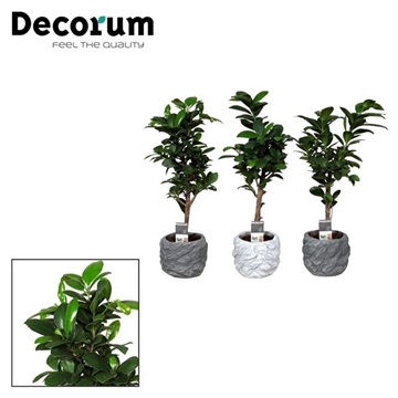 Ficus Microcarpa Ginseng in Roxy pot (Decorum)