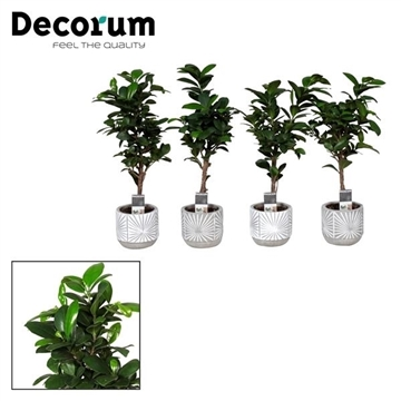 Ficus Microcarpa Ginseng in pot Lizz (Decorum)