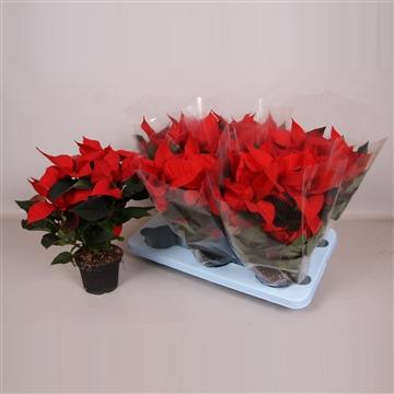 Poinsettia Prima Red 13cm