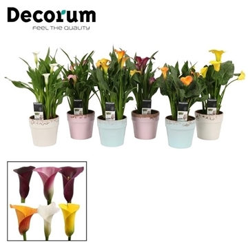 Zantedeschia Mix in Ompot Milou ZOMER (Decorum)