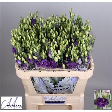 Lisianthus Rosita blue