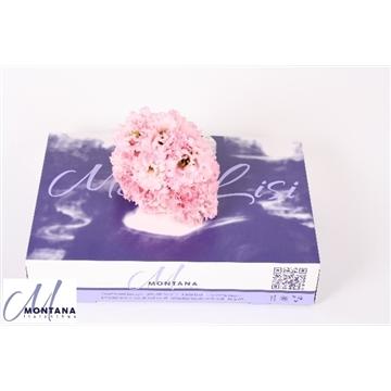 Lisianthus  mono lisi alissa pink