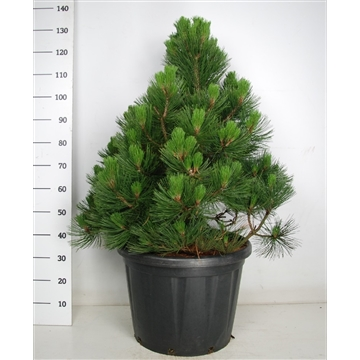 """Pinus leucodermis """"malinky"""""""