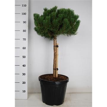 Pinus mugo 'carsten's wintergold'