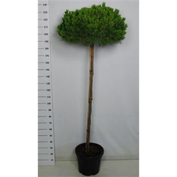 Pinus nigra brevifolia