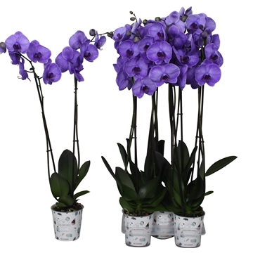Phal colorchid purple, 2 tak