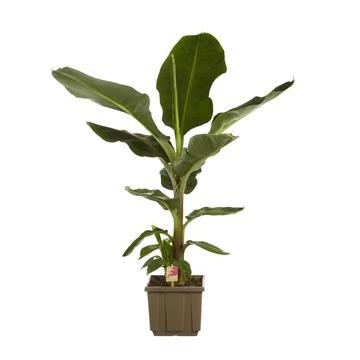 Musa 'Dwarf Cavendish' / Fair Flora