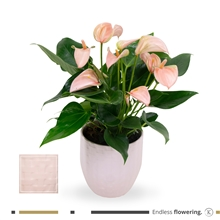 Artikel #346618 (MND13PEA12PEA: KARMA - Peach Anthurium | Ceramic w/structure 13cm)