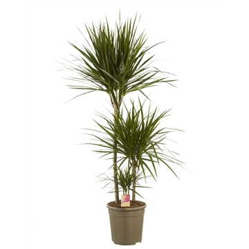 Dracaena marginata 60-30-15 / Fair Flora
