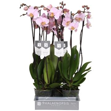 Phalaenopsis salinas, 2 tak 18+