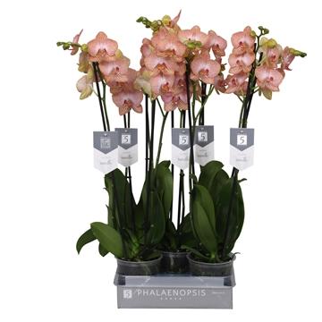 Phalaenopsis ravello, 2 tak 18+