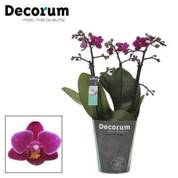 Purple Princess - 3 Tak Decorum