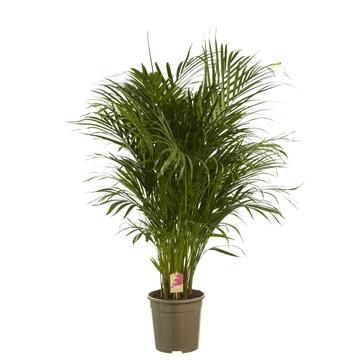 Dypsis lutescens (Areca) / Fair Flora