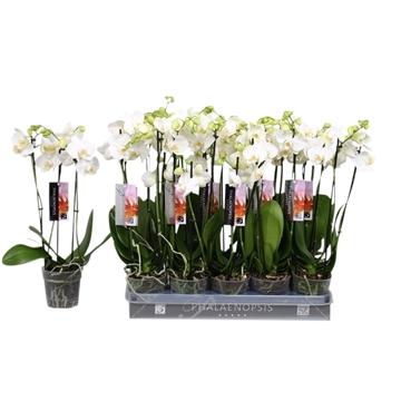 Phalaenopsis tr. snowball, 3tak 18+