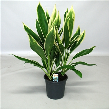 Cordyline new Conga