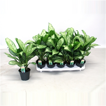 Aglaonema Christina