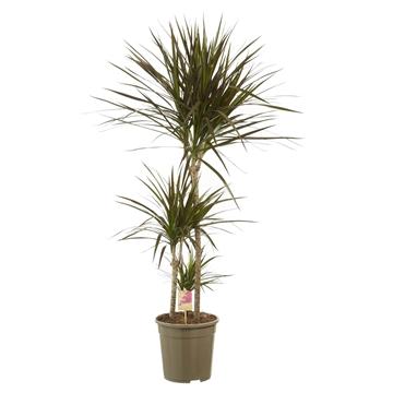 Dracaena marginata Magenta 60-30-15 / Fair Flora