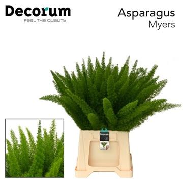 ASPARAGUS myers 50cm (50) dc
