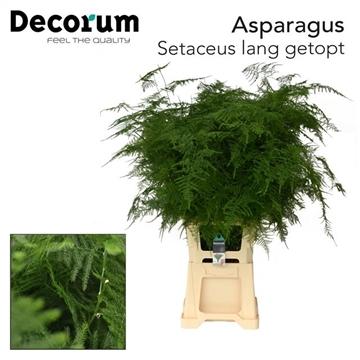 ASPARAGUS SET lang getopt (50) dc