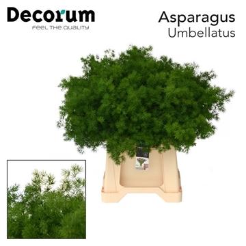 ASPARAGUS umbellatus 40cm (50) dc