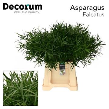 ASPARAGUS falcatus 45cm (50) dc