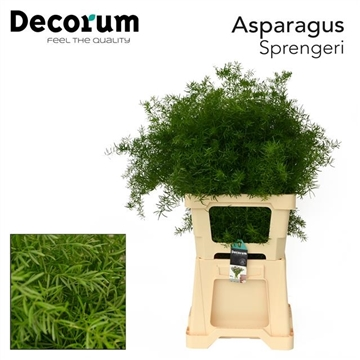 ASPARAGUS sprengeri 65cm (50) dc